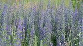 officinalis : Salvia Superba in summer on meadow