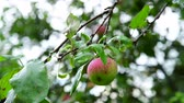 appelboom : Apple tree with apples is wet from the rain