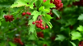 augusztus : Red viburnum with berries is wet from the rain