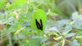 nettle : Three black caterpillars on nettle leaf Stock Footage