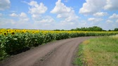 sunflower field : Margins of sunflower Fields with road, Russia