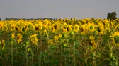 sunflower field : fragment of blooming sunflowers at sunset in field
