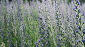 officinalis : lot of beautiful Salvia Superba in summer on meadow