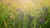 impostazioni : wild meadow flowers and herbs in rays of setting sun
