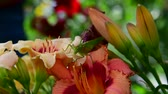 Лилли : large green grasshopper eats pollen on flowers of daylily