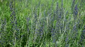 officinalis : lot of Blooming Salvia Superba close up on a wild meadow Stock Footage