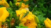 Лилли : Injured grasshopper with one wing on flower
