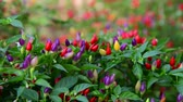 flowerbeds : Beautiful multicolored fruits of decorative pepper Stock Footage