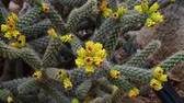 cravado : A Beautiful cactus with an yellow flowers