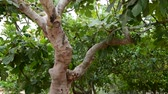 vitaminok : Fig tree with unripe fruits in nature Stock mozgókép