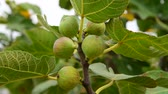 vitaminok : Fig tree with unripe fruits in the garden