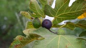 영양소 : fruits of fig tree on branch