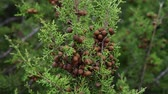 spar : cones on branches of cypress on the island of Cyprus Stockvideo