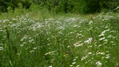 fiori di campo : Many field daisies in the meadow in summer Filmati Stock