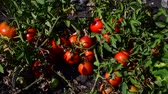 horticultura : Ripe red tomatoes are grown in the ground