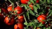 crescido : Ripe red tomatoes are grown in the ground