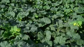 vitaminok : Fragment of melon field with foliage and green fruits