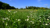 fiori di campo : Beautiful wild daisies on a summer meadow in Russia