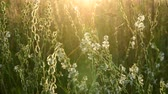 sauce : The Meadow grass and Saponaria at sunset. Nature of Russia Archivo de Video