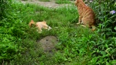 vagabundo : Red cat and kitten playing in nature in summer