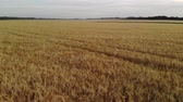 augusztus : Beautiful field with ripe rye in Russia, forward movement