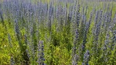 花序 : beautiful meadow with blooming Salvia Superba in Russia