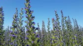 花序 : meadow with blooming Salvia Superba in Russia