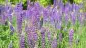 lupine : Many beautiful glade with blooming lupins