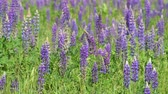 lupine : Beautiful glade with blooming lupins