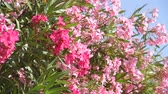 ブッシュ : Beautiful pink blooming oleander on a sunny day