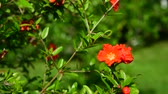 kvetoucí : Flowering pomegranate bush with a red flowers