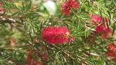 queensland : The Red bottle-brush tree - is a Callistemon Stock Footage