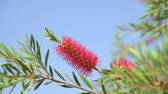 тычинка : The Red bottle-brush tree - is a Callistemon Стоковые видеозаписи