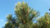 spar : The Beautiful branches of Mediterranean pine Stockvideo