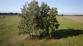 terra : Aerial: flight over beautiful green tree at golden summer field. Morning near sea. Flying around the tree. Vídeos