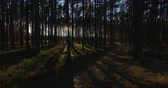 Aerial view of sunlight through the trees in pine forest at sunset