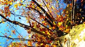 outdoors : Falling leaves from autumn tree trunk Stock Footage