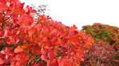 silence : Red smoke tree in Carst region - autumn time - pan left Stock Footage