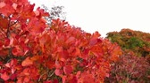 silence : Red smoke tree in Carst region - autumn time - pan right Stock Footage