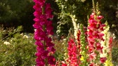 jardim formal : Fox glove flowers