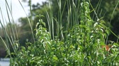 Steady stock footage of green tall grasses waving in the wind, with blurry background Stock Footage