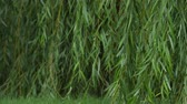 Willow leaves wet in the rain and waving in the wind, with the tips landing in the grassy lawn Stock Footage