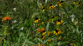 Steady shot of a garden with shrubs and demi-eyed susan flowers Dostupné videozáznamy