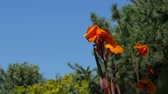 floreios : Wide shot of bright orange flowers waving in the wind in a garden Vídeos