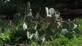 Вера : Steady shot of spiky cactus plants with flowers and bushes around, gently waving in the breeze