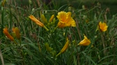 garden flowers : Yellow day lilies gently swaying with the breeze in the garden Stock Footage