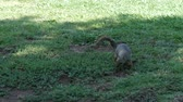 Steady shot of small gray squirrel finding food in the grass then sitting and eating Vídeos