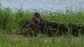 Bushes and green grass fluttering in the breeze with an uprooted log along the banks of a lake Dostupné videozáznamy