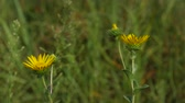 Steady shot focused on three yellow flowers gently swaying with the breeze, with blurred leaves in the background Vídeos