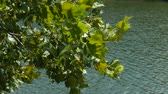 Close up of green leaves swaying gently in the wind with lake water flowing in the background